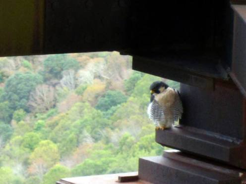 We also saw a FALCON!  Apparently they nest in the bridge beams.